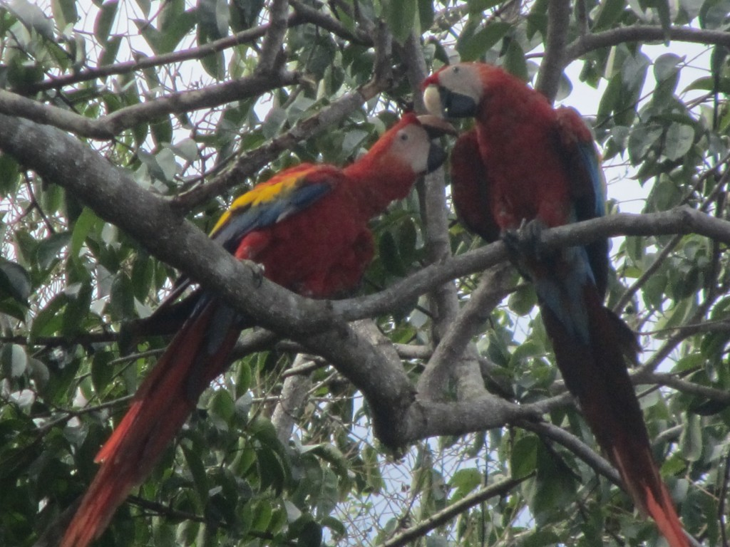 Costa Rica - Scarlet Macaws
