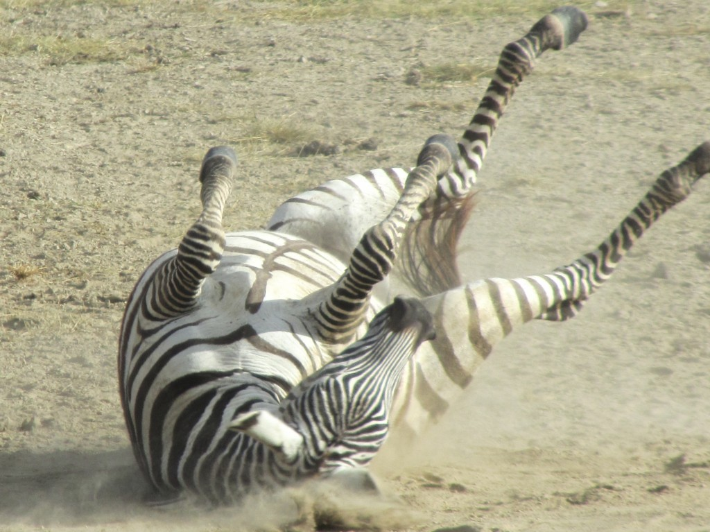 Safari in Ngorongoro Crater - run DMC zebra
