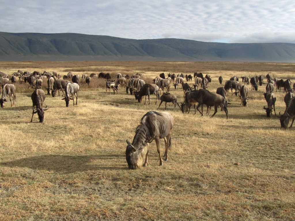 Safari in Ngorongoro Crater - wildebeest in crater
