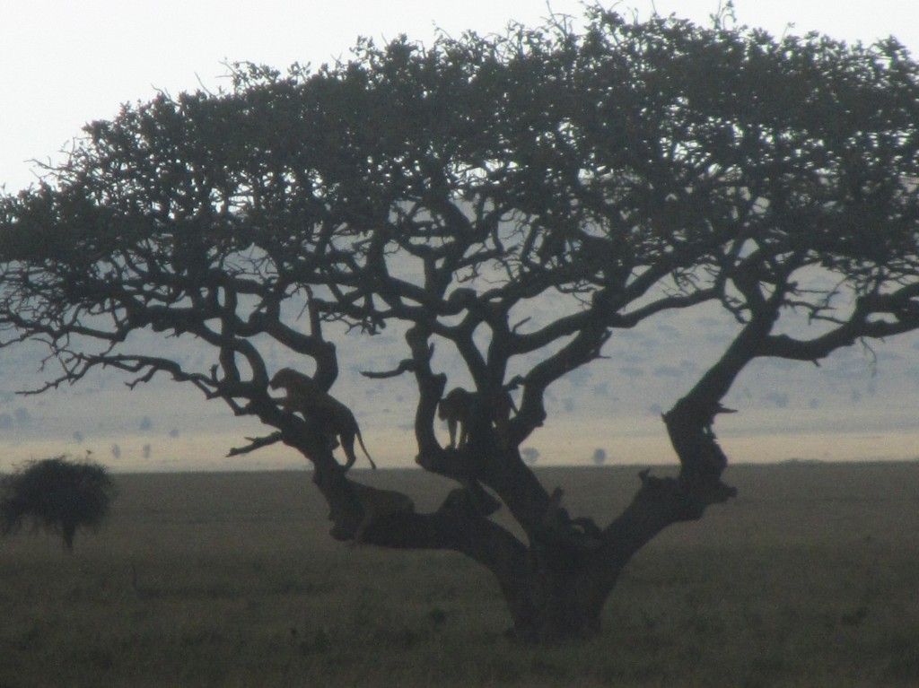 Serengeti tree lions
