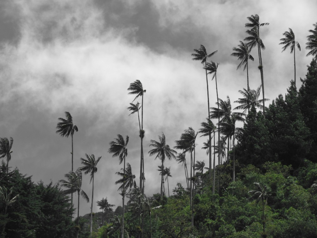 Hiking in the Cocora Valley - wax palm silhouette