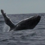 Whale Watching at Isla de la Plata
