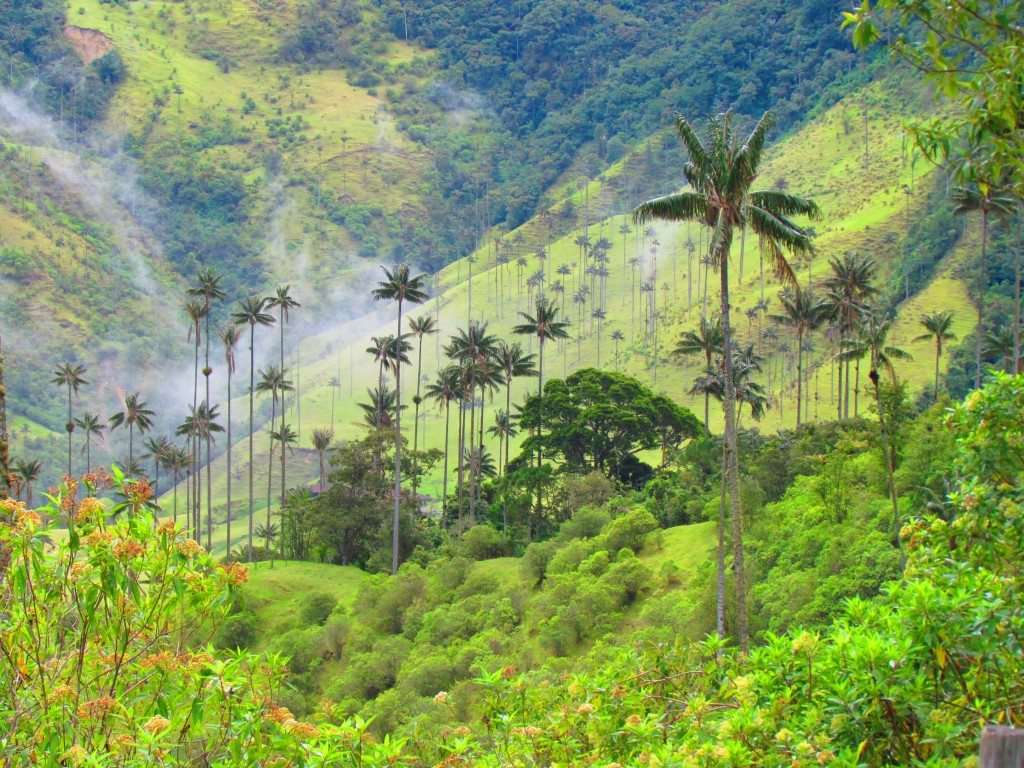 Green Cocora Valley Wax Palms