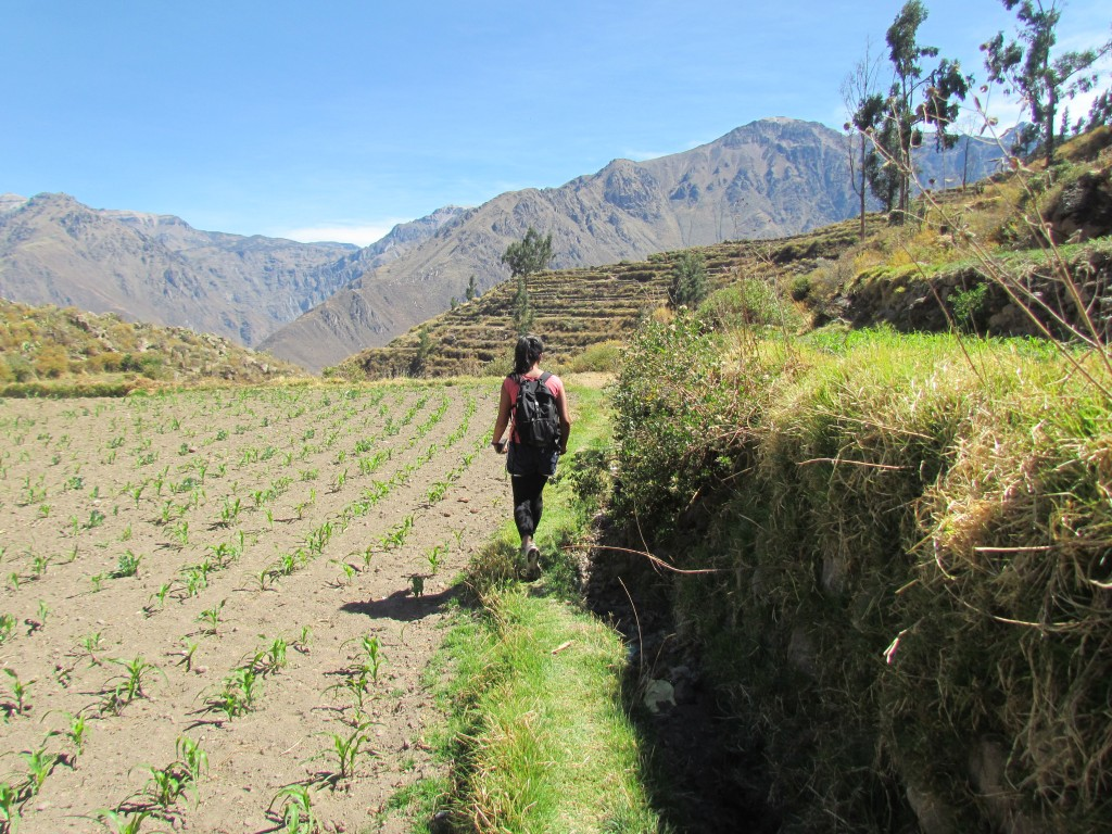 Colca Canyon - lost in the 'maize'
