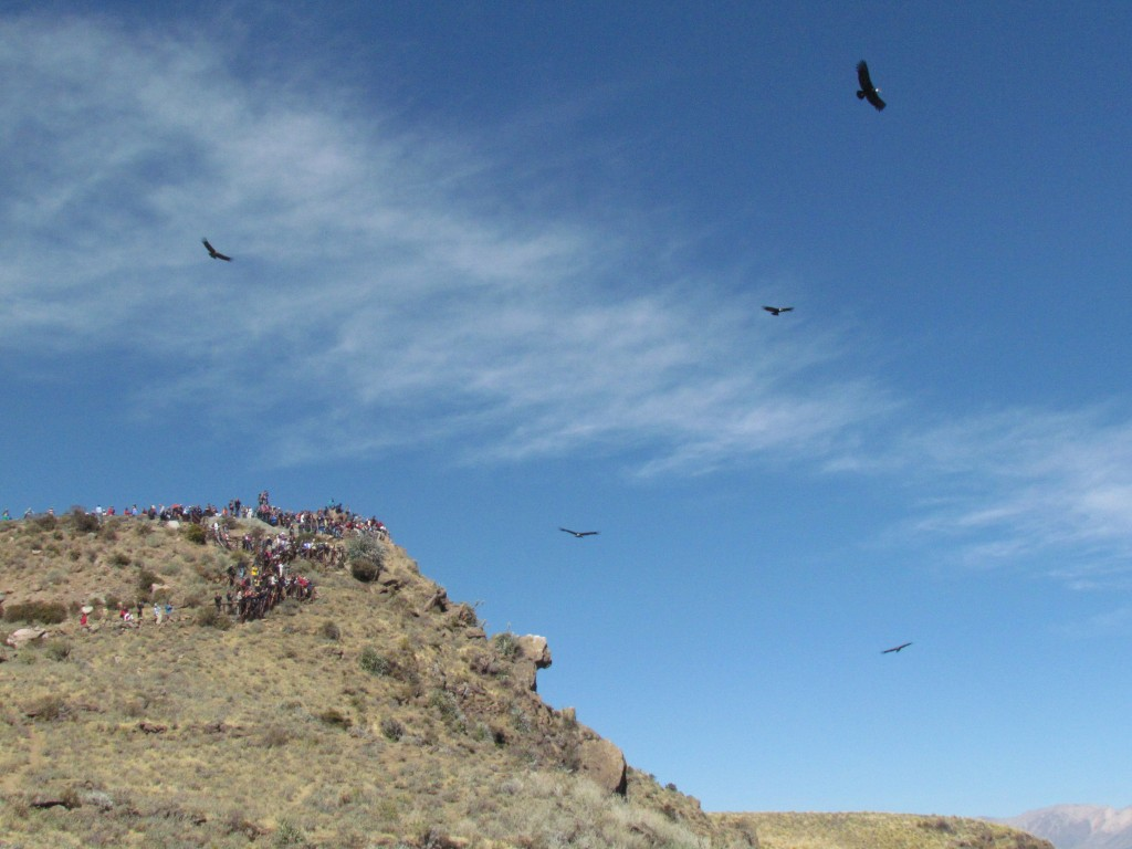 Andean condors - loads flying