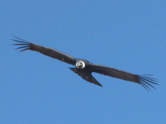 Andean condor Colca Canyon Condor Cross - coming for us