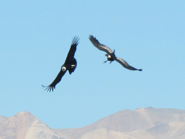 Andean condor Colca Canyon Condor Cross - near collision