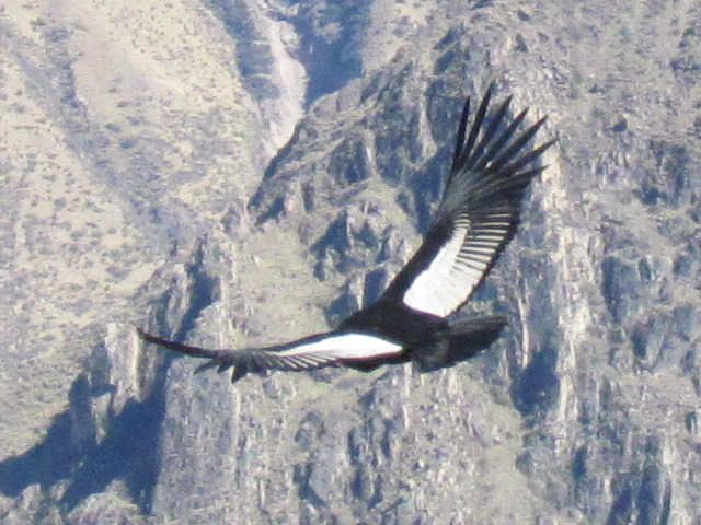 Andean condor Colca Canyon Condor Cross - white one from above