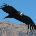 In Search of the Andean Condor