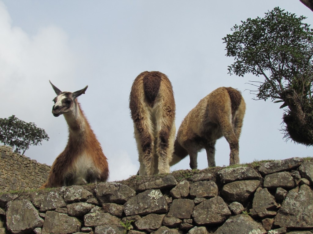 Jungle Trail to Machu Picchu - llamas