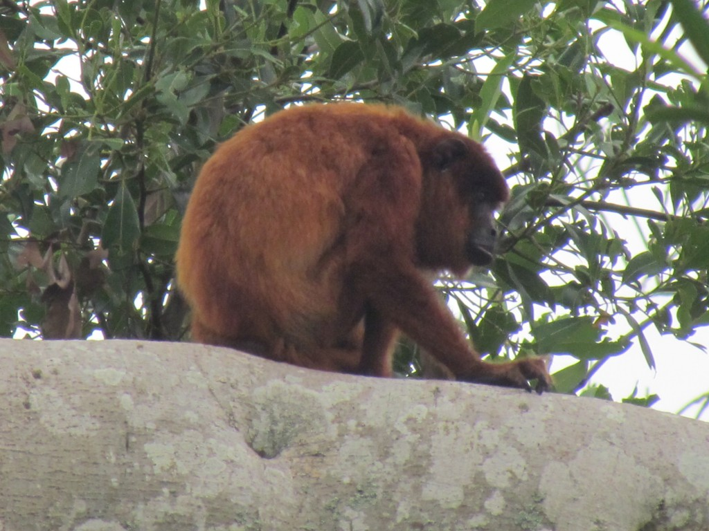Rurrenebaque pampas tour - howler monkey