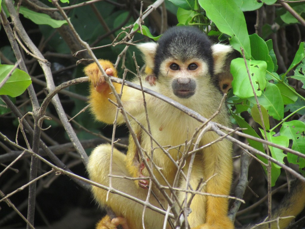 Rurrenebaque pampas tour - squirrel monkey