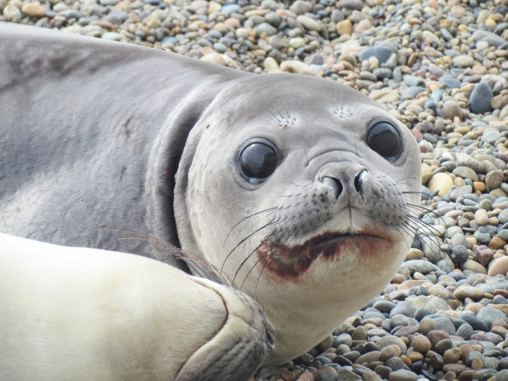 The wildlife of Puerto Madryn - bloody elephant seal