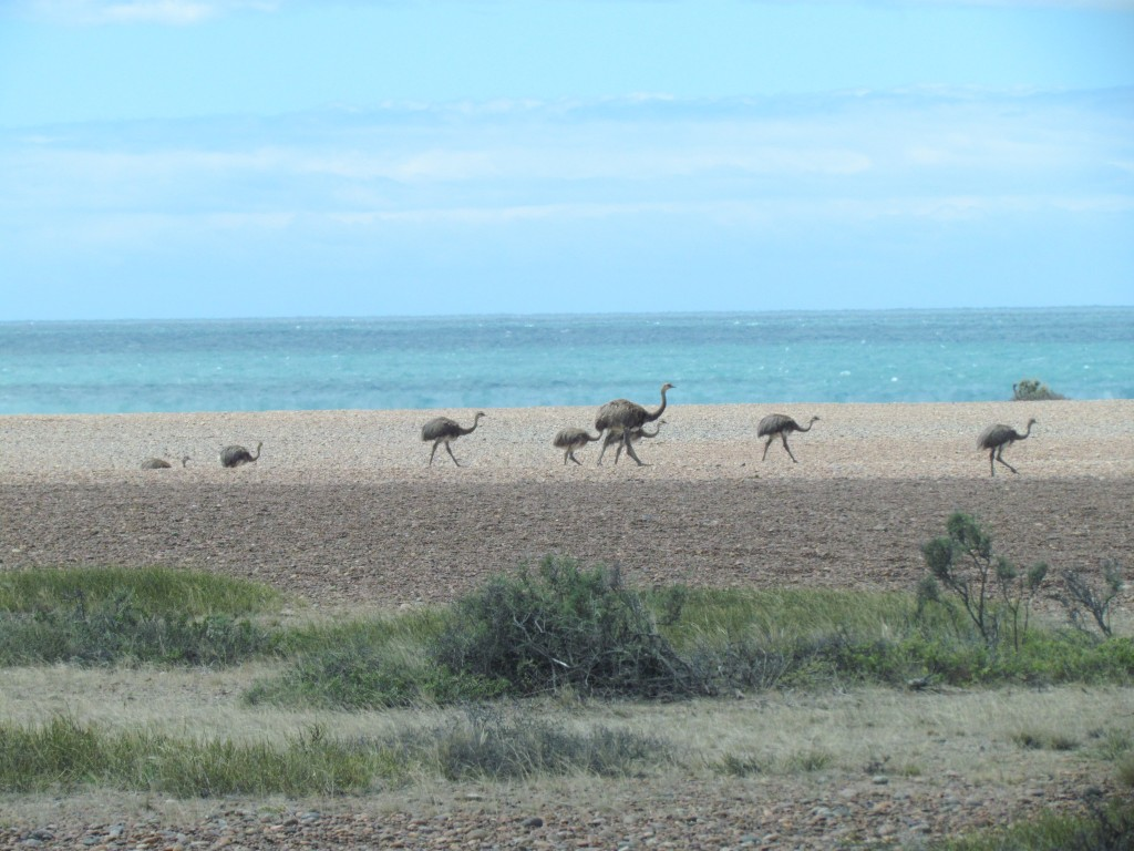 The wildlife of Puerto Madryn - rheas