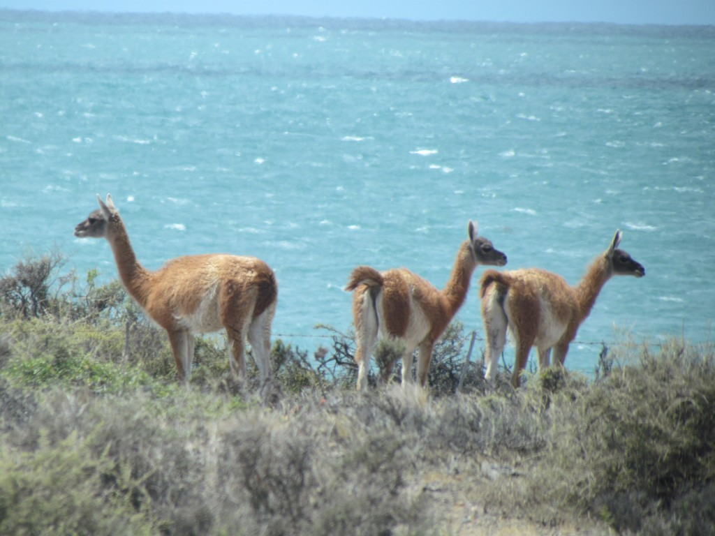 The wildlife of Puerto Madryn - guanacos