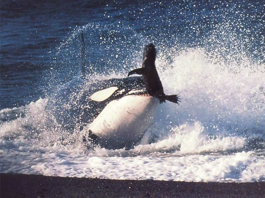 The wildlife of Puerto Madryn - killer whale hunt