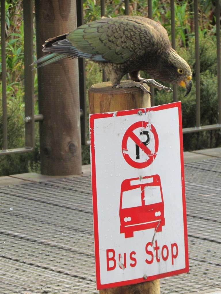 Milford Sound with Real Journeys - kea