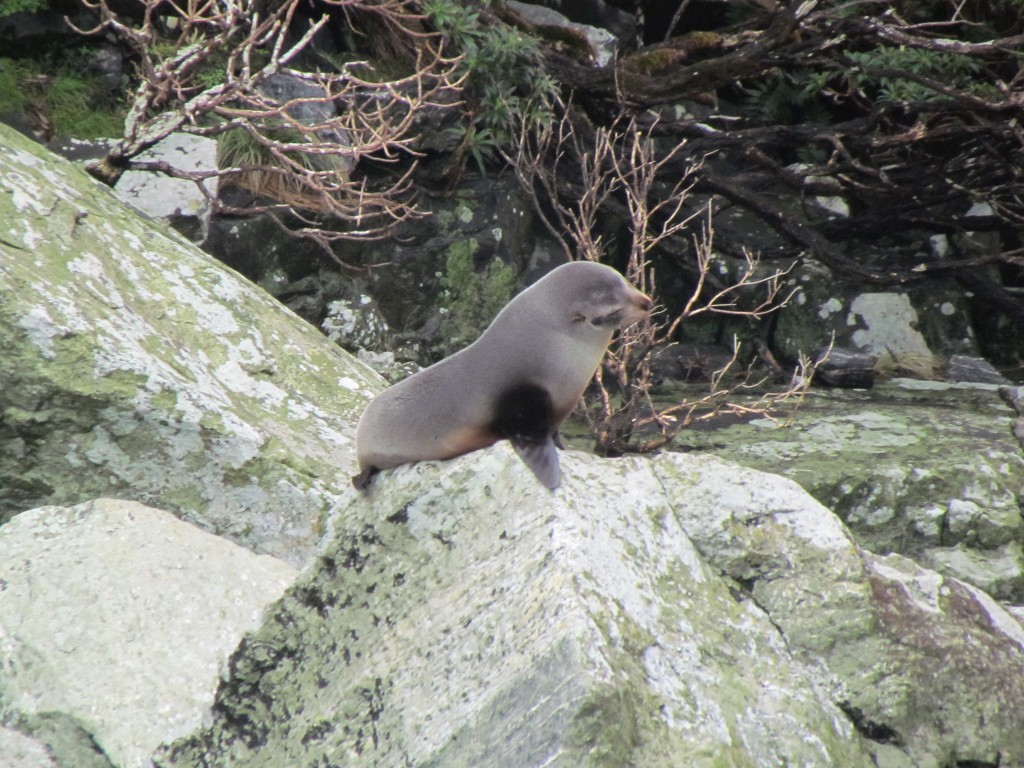 Milford Sound with Real Journeys - seal
