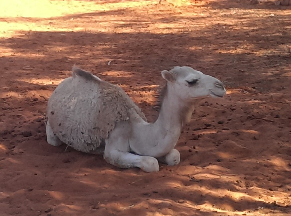 Outback Wildlife - Camel