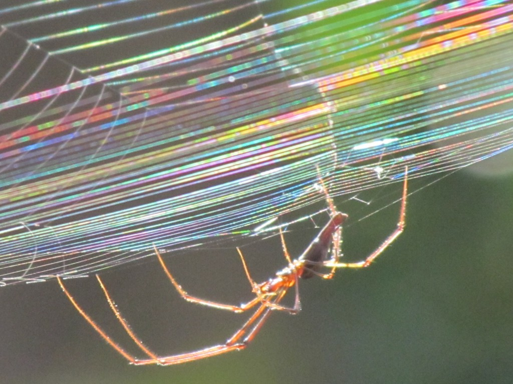 Outback Wildlife - Spider