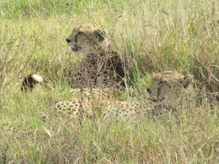 How to Pack for a Safari - cheetahs