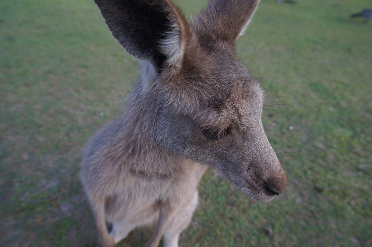 Lone Pine Koala Sanctuary - wallaby closeup