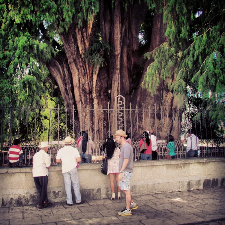 Oaxaca Tours - Widest Tree
