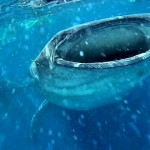 Swimming with Whale Sharks: Isla Mujeres or Holbox?