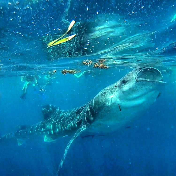 Isla Mujeres or Holbox - Whale Shark on the Surface