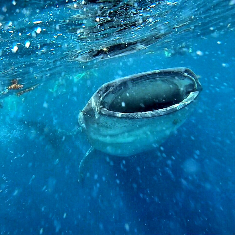 Isla Mujeres or Holbox - Whale Shark Feeding