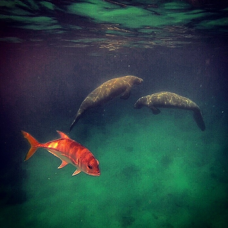 Swim With Manatees in Belize - Manatees Photobombed by a Fish, Caye Caulker