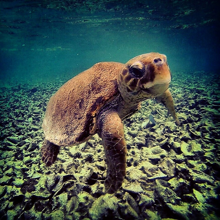 Swim With Manatees in Belize - Scarface the Loggerhead Turtle at Caye Caulker