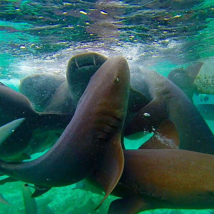 Swim With Manatees in Belize - Nurse Sharks at Shark Ray Alley near Caye Caulker