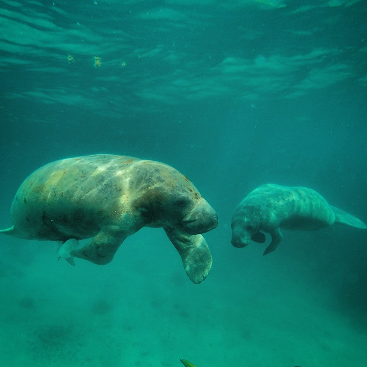 Swim With Manatees in Belize - A Pair of Manatees, Caye Caulker
