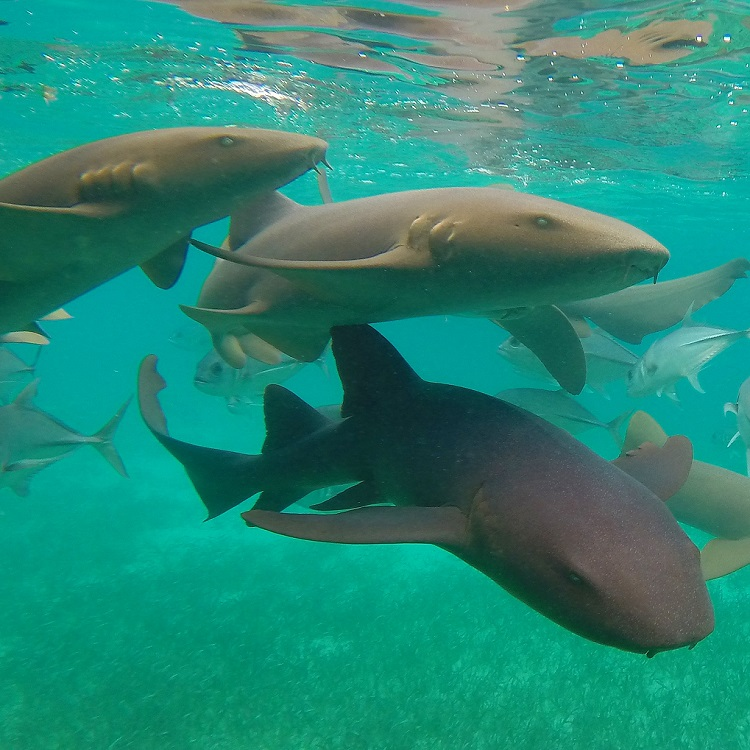 Visit Caye Caulker - Nurse Sharks