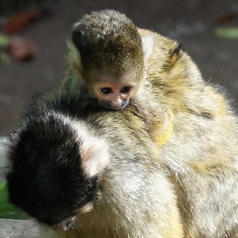 Baby Monkey at London Zoo - London Pass