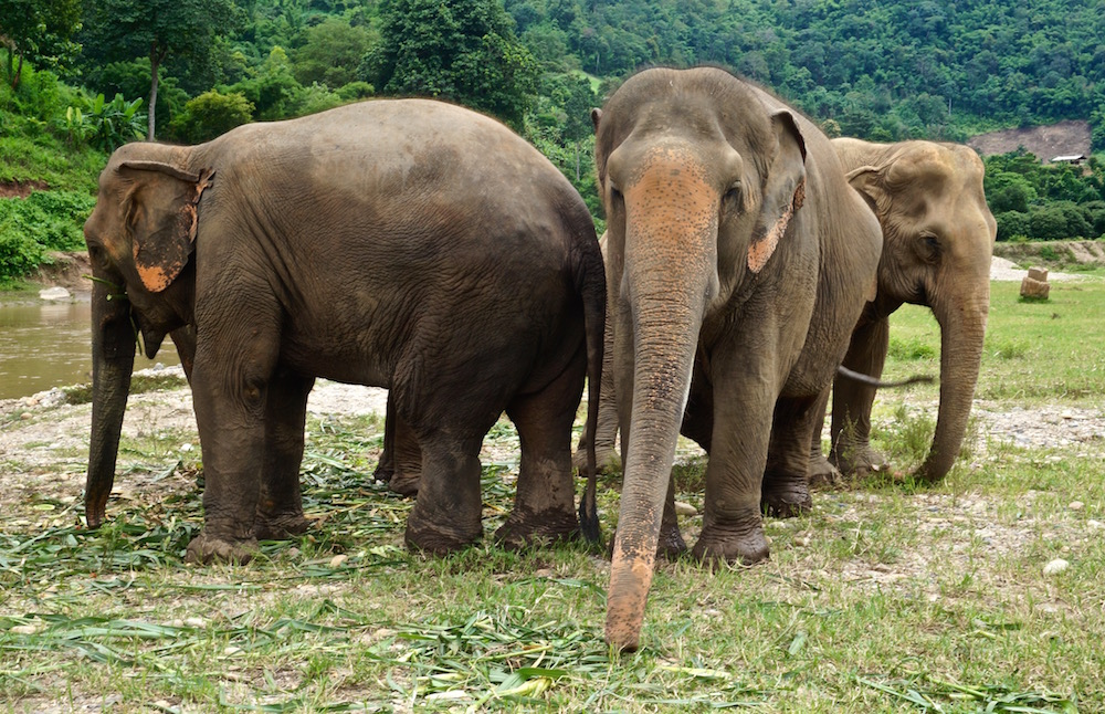 Is Riding Elephants Ethical? - Chiang Mai - the Elephant Nature Park