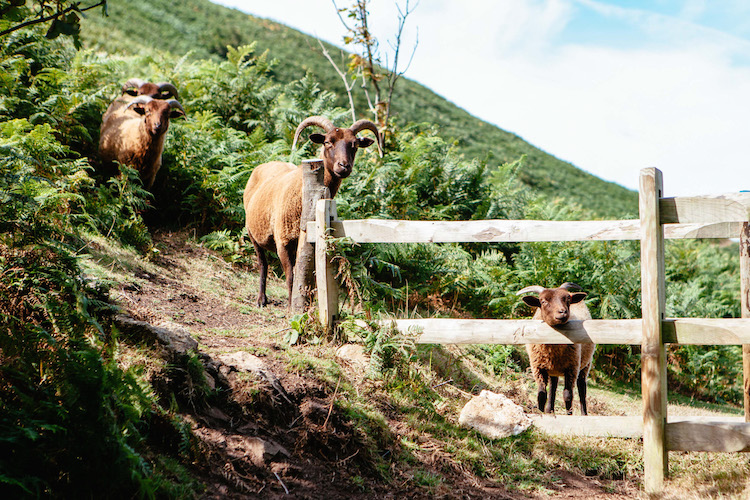 Manx Loaghtan Sheep grazing in Mourier Valley - Escape to Jersey