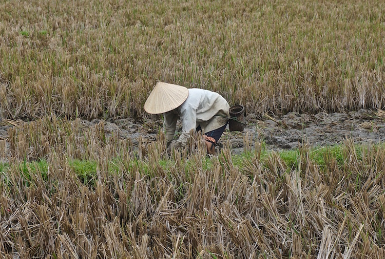 Mai Chau Valley - Harvesting Rice