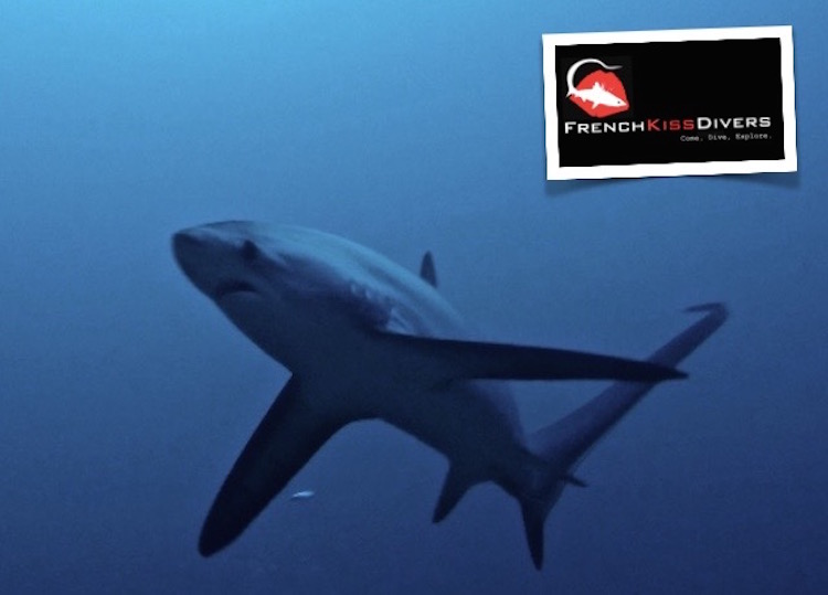Thresher Sharks in Malapascua - Thresher Shark