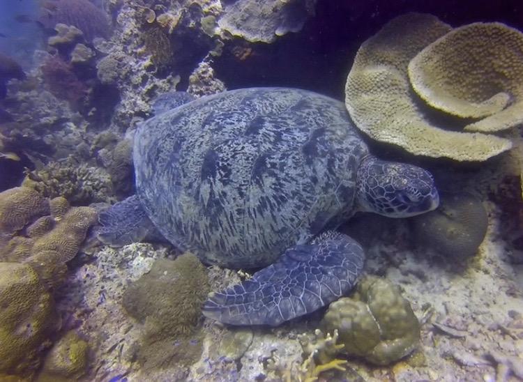 Scuba Diving in Moalboal - Turtle