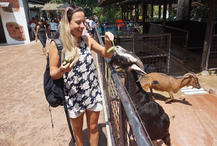 Singapore Zoo and Night Safari - Goat Feeding