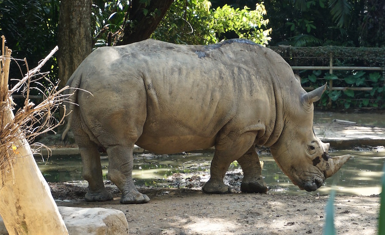 Singapore Zoo and Night Safari - Rhino