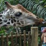 Why You Have to Visit Singapore Zoo