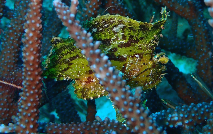 PADI Divemaster Course - Divemaster Training - Leafy Scorpion Fish