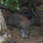 Trekking With Komodo Dragons