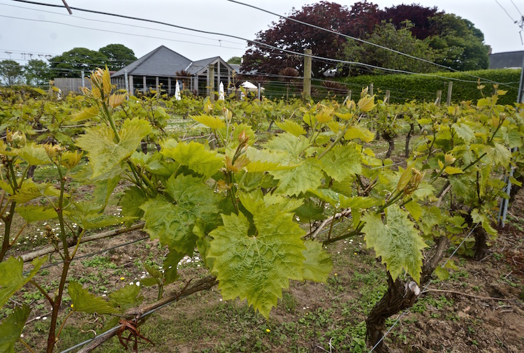 Reasons to Visit Jersey - La Mare Wine Estate - Vinyard - Channel Islands