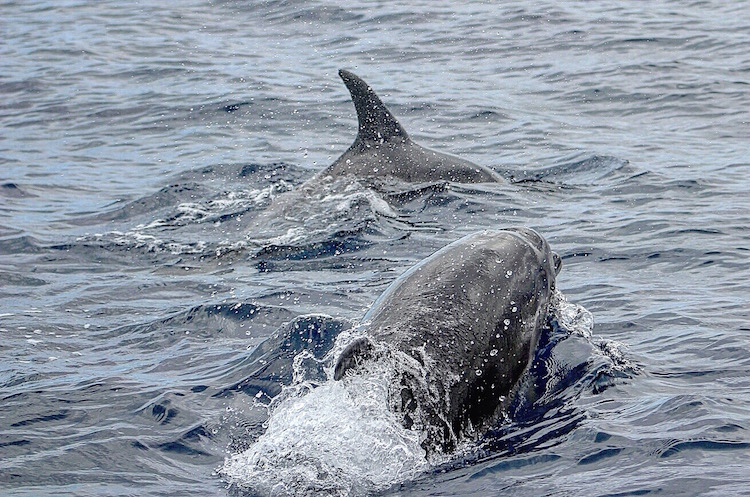 Scuba Diving in Tenerife - Dolphins seen from the Blue Bottom Divers boat