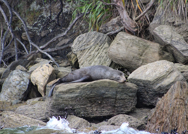 Swimming with Dolphins in the Marlborough Sounds - E-Ko Tours - New Zealand Fur Seal