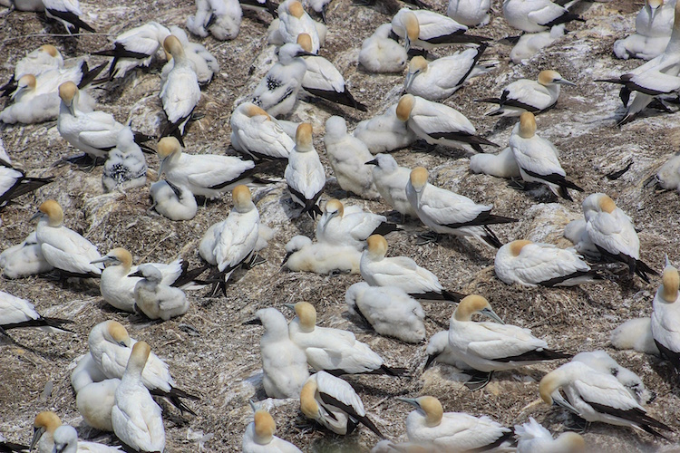 Top 10 Auckland Day Trips - Muriwai Beach - Gannet Colony